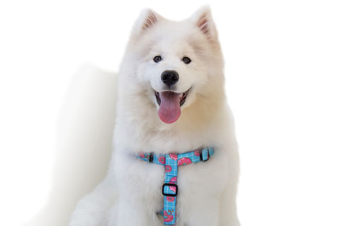 zeedog_cachorro_pet_peitoral_stepin_homer_donut_rosquinha_active