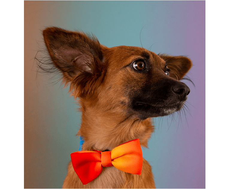 Cachorro usando Gravata Gradients Solaris
