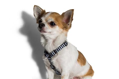 peitoral-para-cachorros_h_mango_listras_zeedog_cachorro_pet_hover_1
